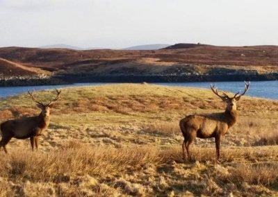 deer north uist